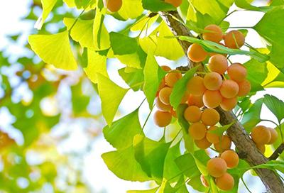 Bạch quả chứa hàm lượng lớn trong viên uống Hoạt huyết tiền đình Sakura